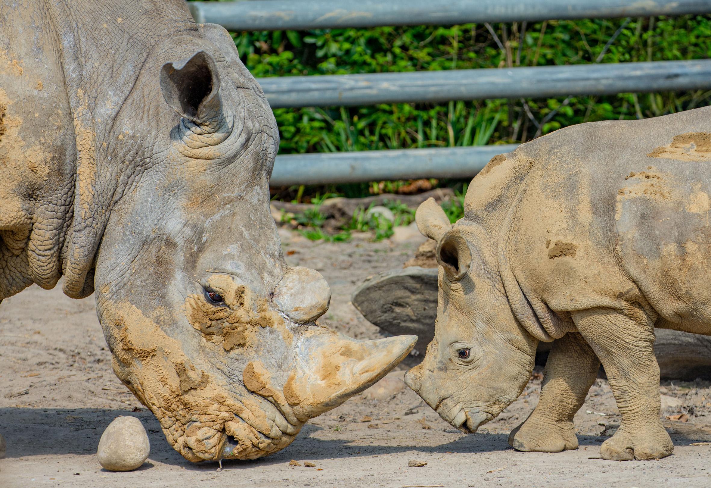 Dortmunder Nashorn-Nachwuchs feiert Geburtstag